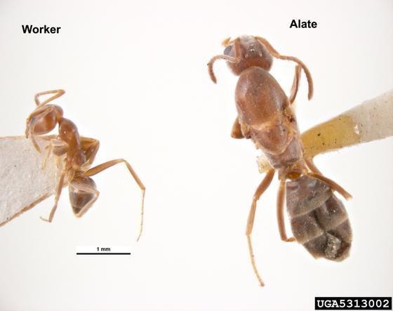 위해우려 외래곤충으로 지정된 아르헨티나개미. [사진 Pest and Diseases Image Library, Bugwood.org CC-BY-NC 3.0]