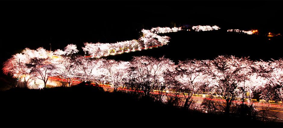 청풍호 벚꽃길. [사진 충청북도청]