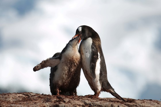 기후 변화로 파괴되어가고 있는 남극. 남극 커버빌 섬에서 한 펭귄이 아기펭귄에게 먹이를 주고 있다. [로이터=연합뉴스]