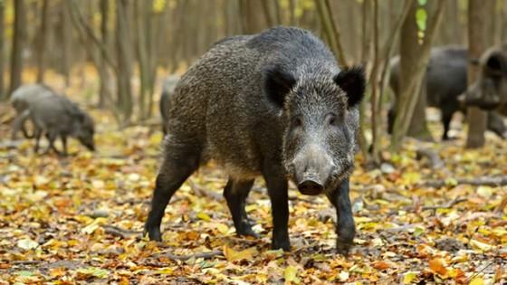 아프리카돼지출혈열(ASF) 바이러스는 러시아와 우크라이나의 야상 멧돼지에서 자주 발견되고 있다. [체코수의학처]