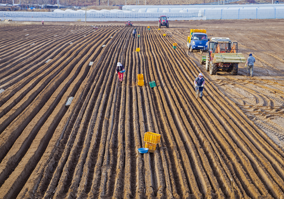26일 경북의 한 농장에서 농부들이 퇴비 살포와 이랑 일구기 작업을 하고 있다. [연합뉴스]