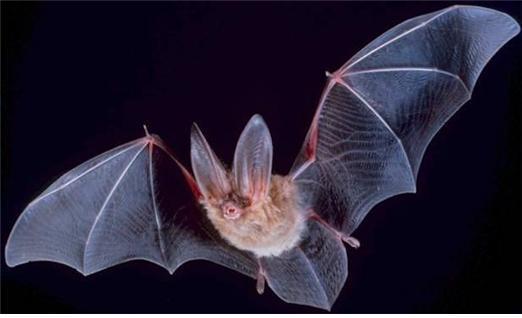 하늘의 제왕인 박쥐. 포유류 중 유일하게 날아다니는 박쥐는 해충을 없애주기도 하지만 사람에게 병을 옮기기도 한다. [중앙포토]