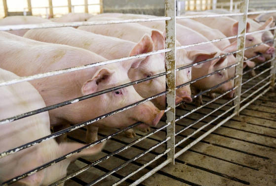 2일 중국이 미국산 냉동 돼지고기에 25% 관세를 부과하기로 결정했다. 사진은 지난달 26일 미국 아이오와주 하워든의 돼지 농장. [AP=연합뉴스]