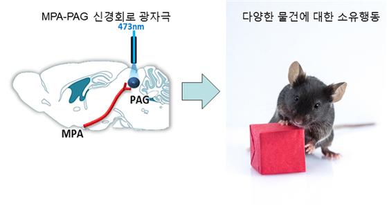 전시각 중추 신경회로가 소유행동을 나타내는 모식도 [KAIST 제공=연합뉴스]