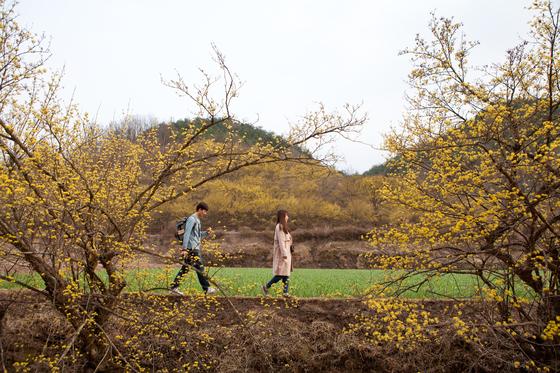 '산수유마을'로 불리는 경북 의성군 사곡면 화전리는 이맘때 가장 눈부시다. 산수유나무 10만 그루에 노란꽃 피고, 마늘밭이 초록으로 반짝인다. 얼마 전 개봉한 영화 '리틀 포레스트'에도 산수유마을에서 촬영한 봄 풍경이 나온다.