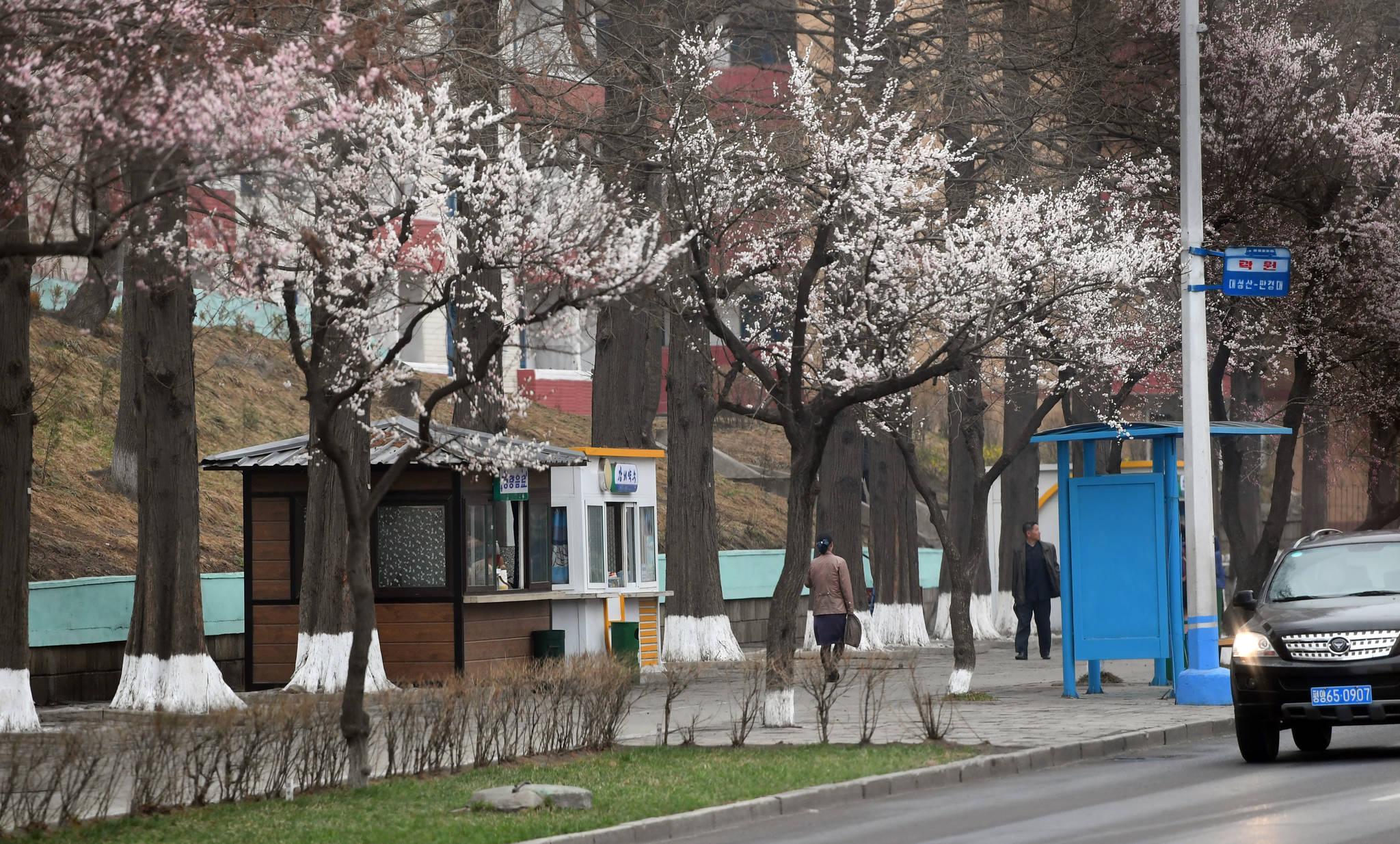 살구나무 꽃이 활짝 핀 평양거리. 사진공동취재단