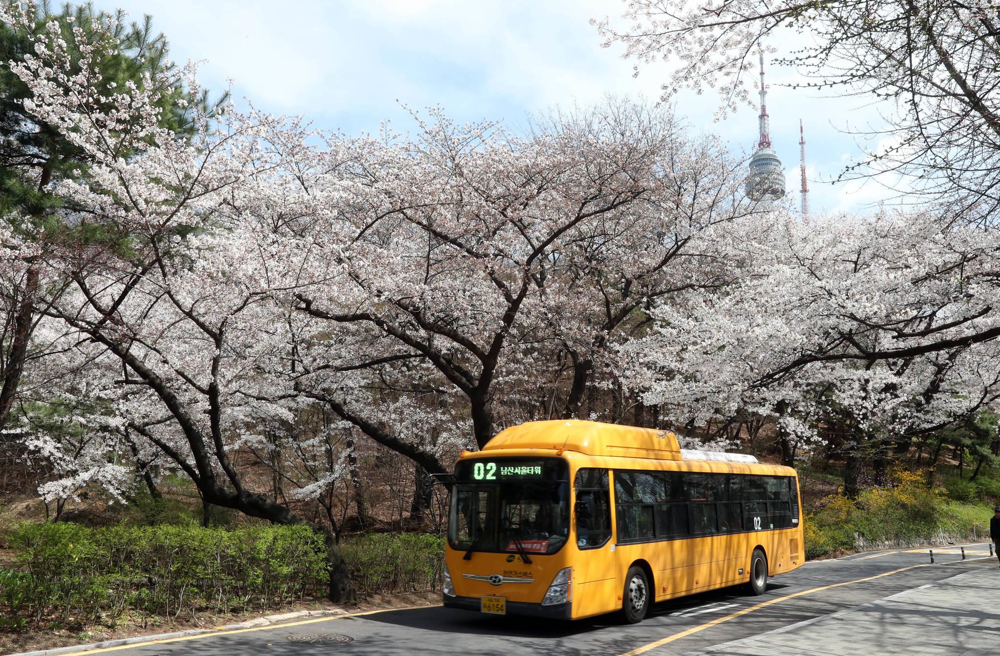 서울 남산 도서관에서 타워로 오르는 벚꽃길의 벚꽃은 지대가 높아서 인지 7일 현재 가장 싱싱하다. 강정현 기자