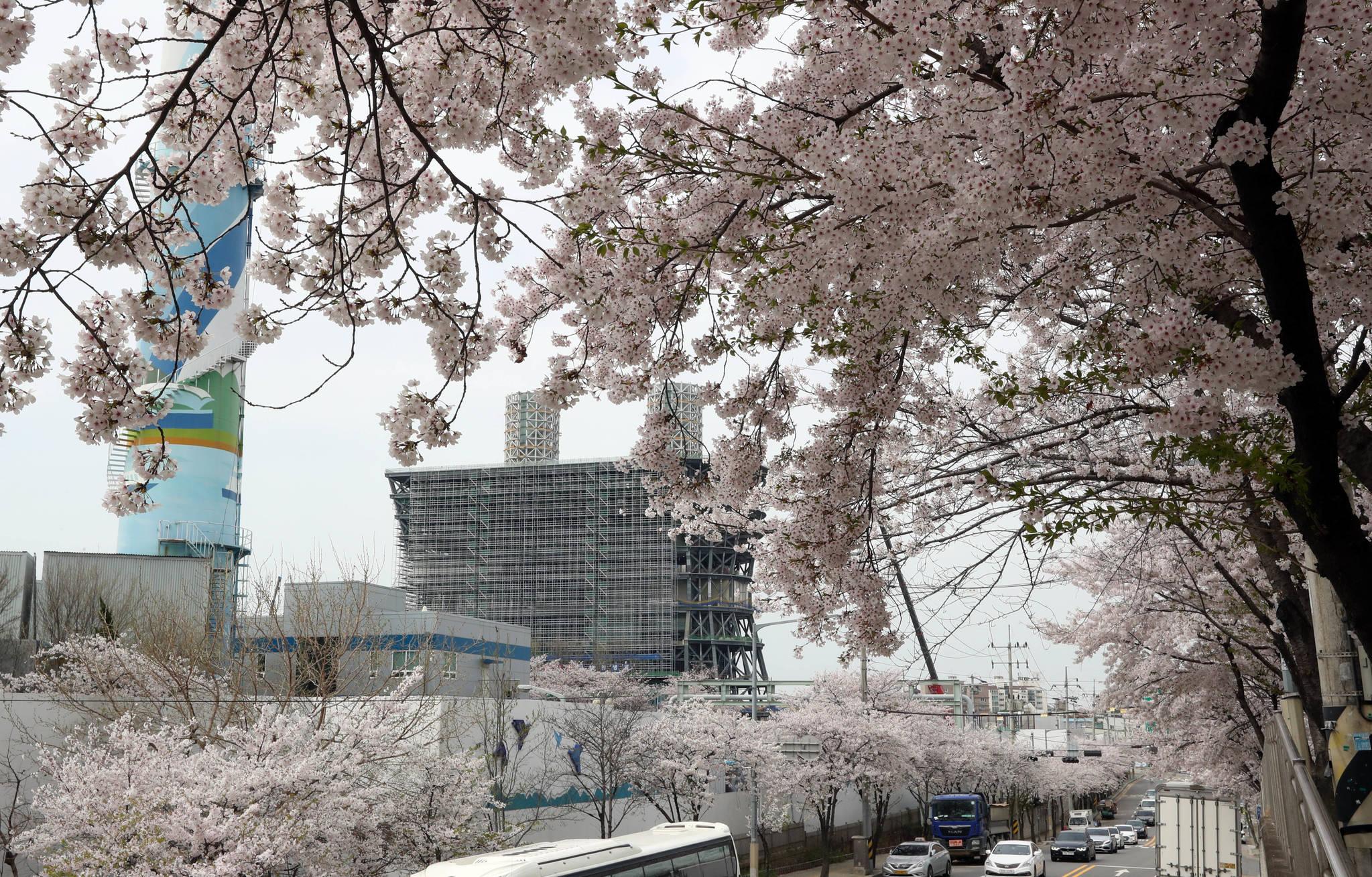 합정동 당인리 발전소에서 상수동으로 이어지는 길 가로수도 벚나무다. 7일 현재 벚꽃이 만발했다.강정현 기자