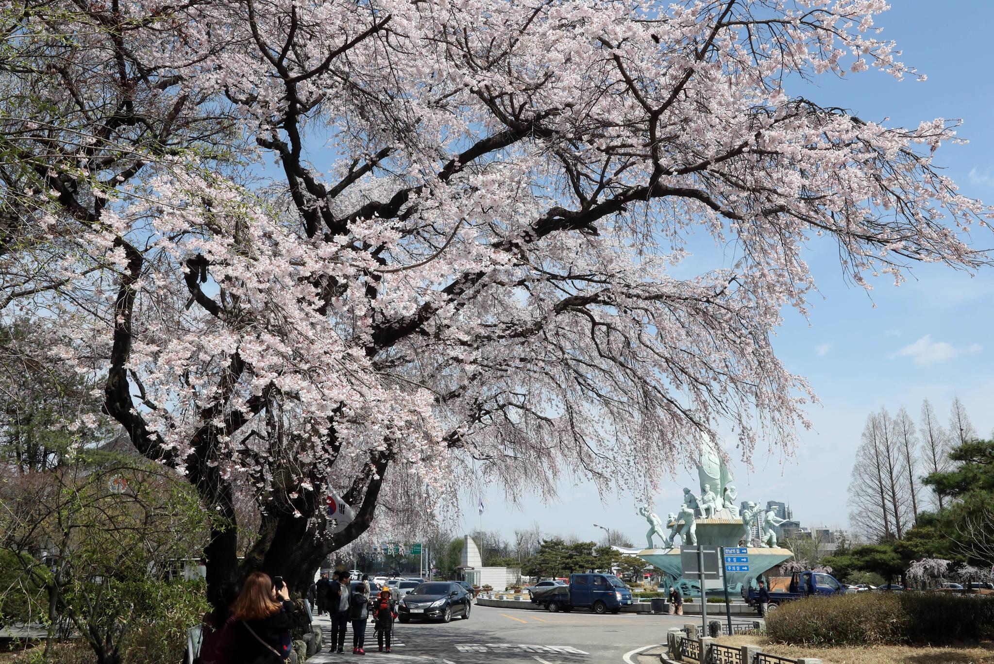 7일 현재 국립서울현충원 입구에서 현충탑에 이르는 길가의 수양벚꽃은 벚꽃의 극치를 보여준다. 강정현 기자