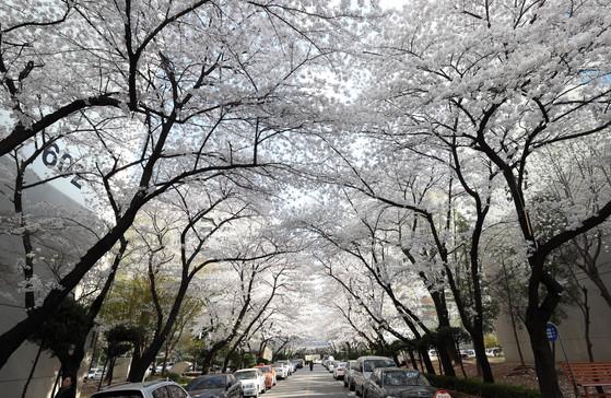 서울 명일동 삼익그린2차 아파트 단지내 벚꽃. 재건축을 앞둔 아파트 나이만큼이나 제법 큰 나무들이 하늘을 가릴 정도다. 강정현 기자