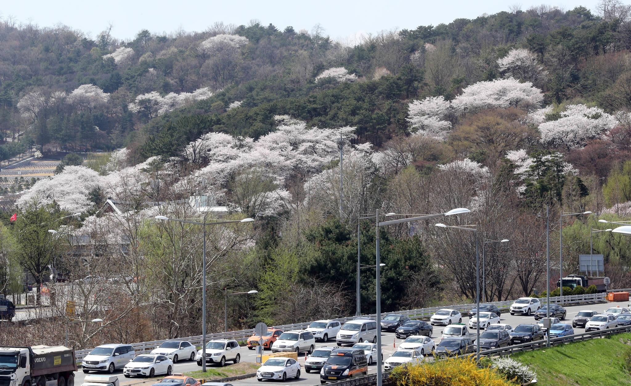 동작동 국림서울현충원에는 곳곳에 벚나무들이 산재해 있다. 강정현 기자