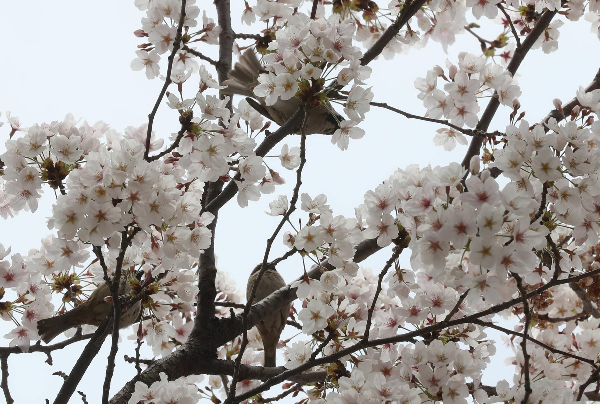 합정동 당인리 발전소에서 상수동으로 이어지는 길 가로수도 벚나무다. 7일 현재 벚꽃이 만발했다. 발전소 이미지와 달리 조용한 거리에 새소리도 만끽할 수 있다.강정현 기자