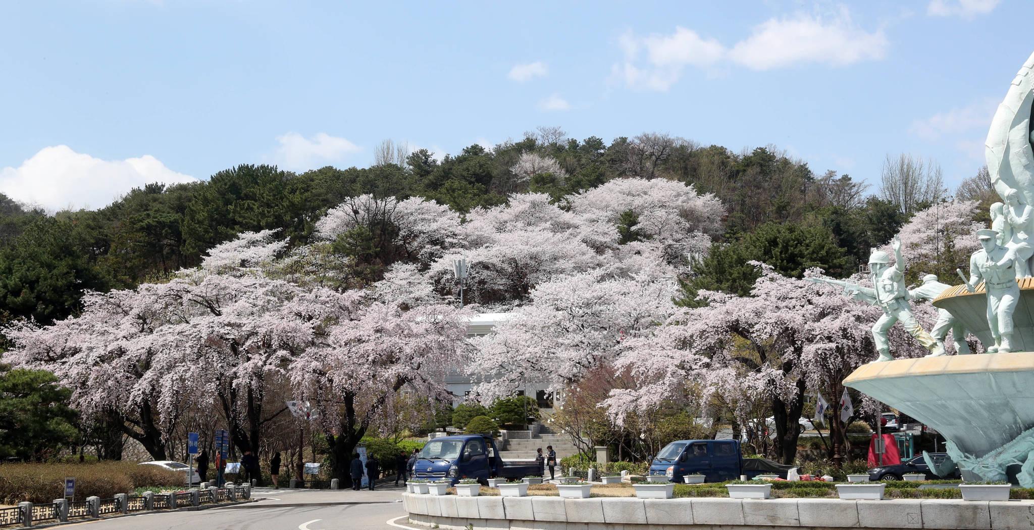 7일 현재 국립서울현충원 입구 오른편에 벚나무들이 만개했다. 강정현 기자