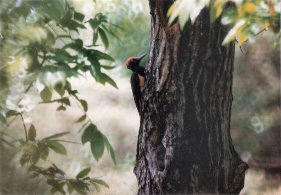 북한 황해도 크낙새 보호 증식 및 보호구역에 서식하는 크낙새(수컷). 북한에서는 크낙새를 '클락새'라 부른다. [사진 이일범 문화재전문위원]