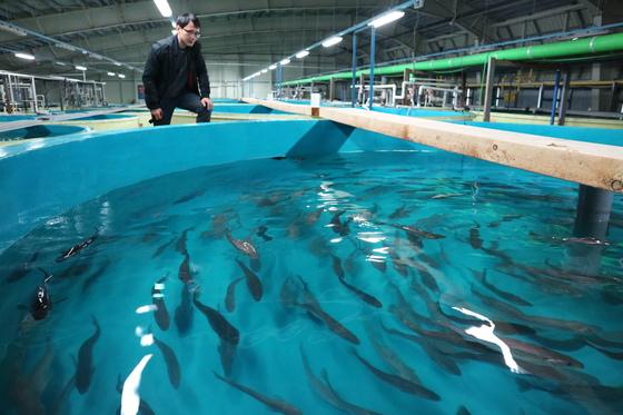 강원도 한해성수산자원센터 서주영(39) 박사가 명태살리기 프로젝트 연구 어류동에서 1세대 명태의 건강 상태를 체크하고 있다. 박진호 기자