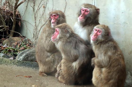 일본원숭이 무리 [중앙포토]
