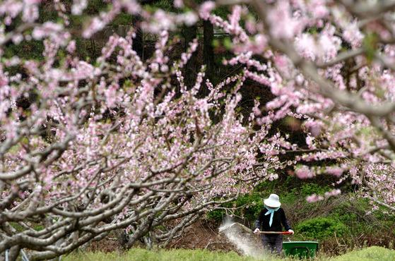 전남 나주시 남평읍 연분홍 복사꽃이 활짝핀 복숭아 과수 농가에서 한 주민이 나무에 비료를 주며 농사 준비에 분주하다. [중앙포토]