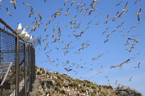 번식기를 맞아 한려해상국립공원 홍도를 찾은 괭이갈매기. [사진 국립공원관리공단]