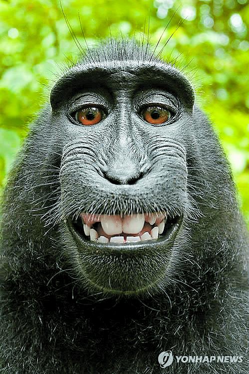 저작권 소송에 휘말린 인도네시아의 검정짧은꼬리원숭이(학명 마카카 니그라) 나루토가 찍은 셀카. [연합뉴스]