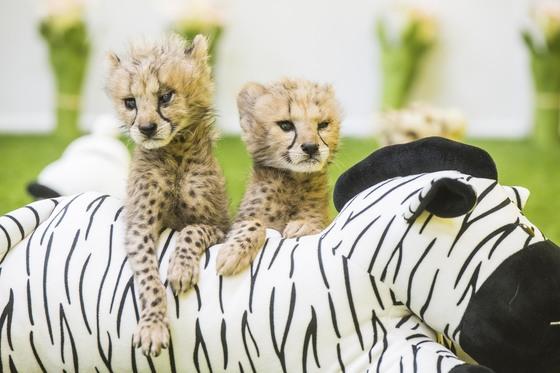 지난달 13일 경기도 용인 에버랜드 로스트밸리에서 태어난 아기 치타들. 아빠 치타 네로와 엄마 치타 아만다가 자연번식으로 낳은 새끼들이다. [사진 에버랜드]
