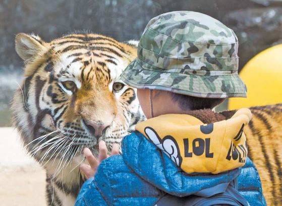 에버랜드 동물원이 한국호랑이 등 야생동물 보전과 어린이 교육을 강화한 생태형 동물원으로 변신하고 있다. [사진 에버랜드]