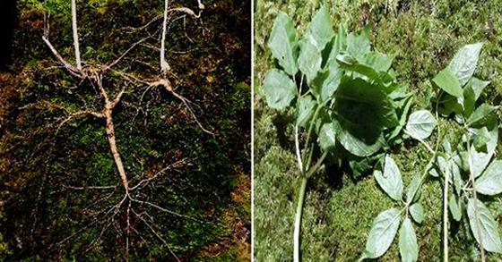 지리산 일원에서 등산객이 발견한 100년 넘은 천종산삼. 사진 왼쪽이 모삼, 오른쪽이 자삼이다. [사진 한국전통심마니협회]