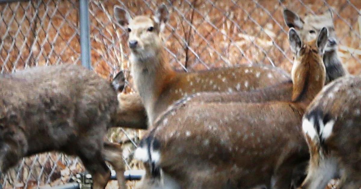 속리산 계류장에 갇혀 있는 대만 꽃사슴. [사진 속리산사무소]