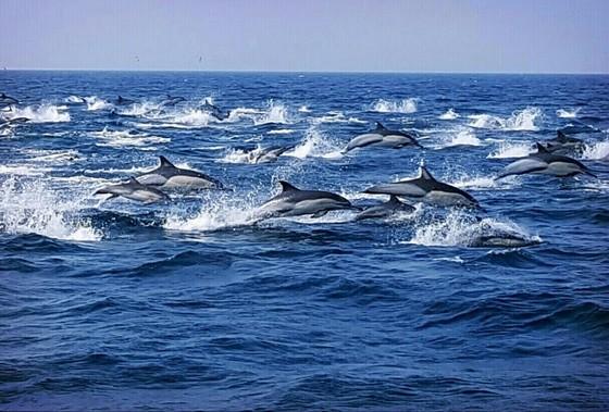 힘차게 헤엄치는 참돌고래떼. 이들 고래는 많게는 수천 마리가 함께 다닌다. [사진 울산남구도시관리공단]