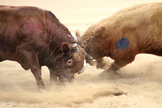 청도 소싸움 경기장에서 소들이 한판 승부를 내고 있다. [사진 청도공영사업공사]
