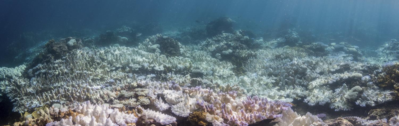 지난 1월 미 해양대기국(NOAA)가 공개한 태평양 괌 주변 산호초의 백화현상. 지난해 촬영한 사진이다. [AP=연합뉴스]