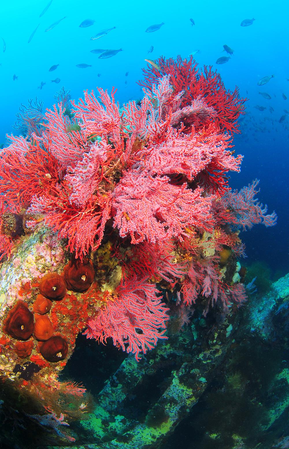 인공어초 포인트에 핀 부채뿔 적산호. [중앙포토]