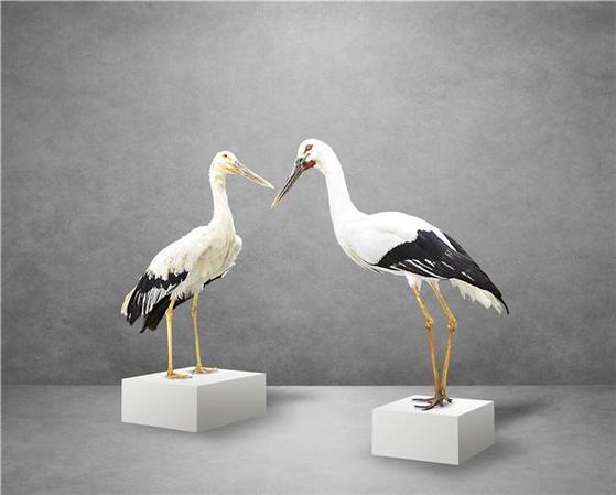 충북 음성 황새 부부의 표본. 왼쪽이 암컷이고 오른쪽이 수컷 표본이다. [사진 국립생물자원관]