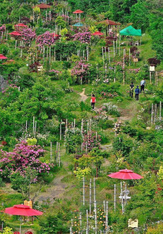 계절의 여왕 5월은 정원이 가장 아름다운 때이기도 하다. 전남 제2호 민간정원인 죽화경은 지금 만개한 장미와 온갖 꽃들로 눈부시다. [사진 죽화경]