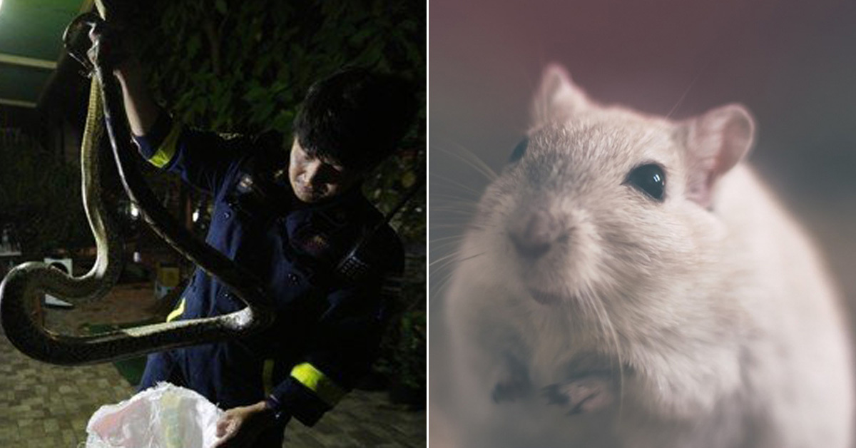 태국 방콕 주택서 뱀 포획하는 소방관(왼쪽) (오른쪽 사진은 쥐 이미지 사진) [EPA=연합뉴스, 프리큐레이션]