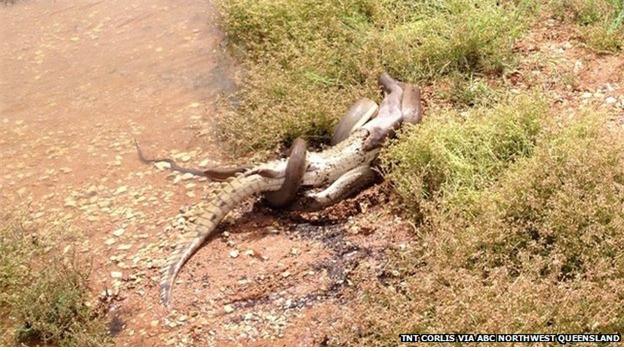 호주에서 촬영된 악어와 뱀의 혈투. 뱀이 승리했다. [중앙포토]