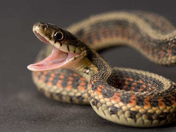 사람을 오싹하게 만드는 뱀. 하지만 생태계에서는 중요한 역할은 한다. [중앙포토]