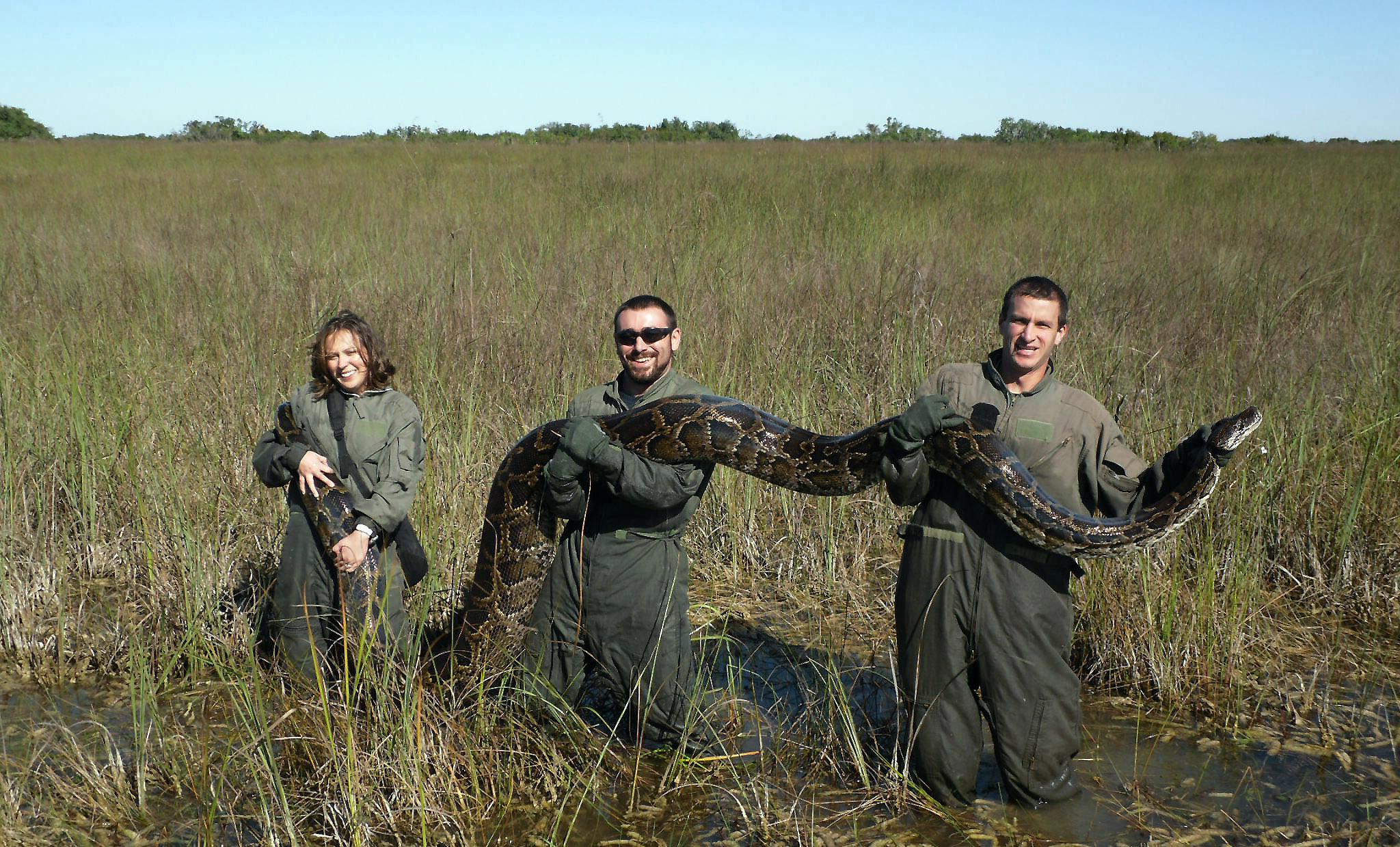 지난 2009년 11월 미국 플로리다 에버글레이즈 습지에서 잡힌 버마비단뱀. [중앙포토]