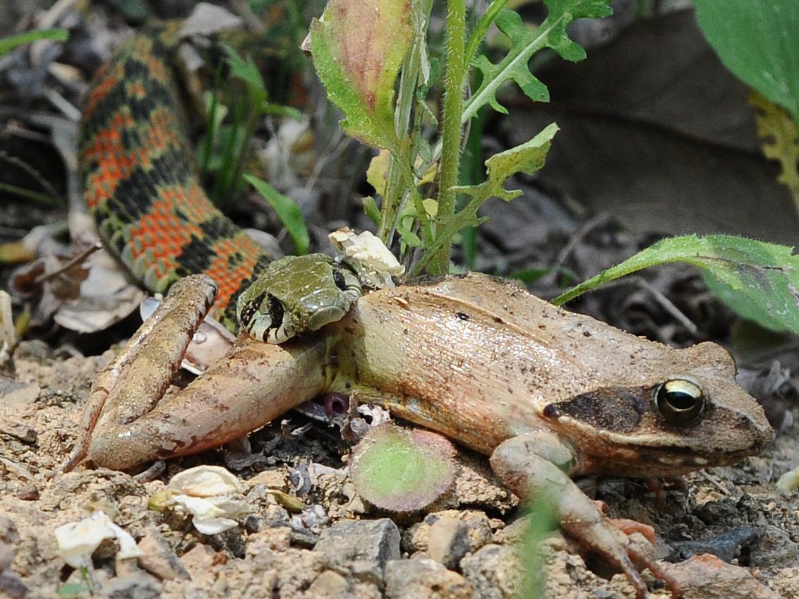 풀숲에서 살아가는 유혈목이(일명 꽃뱀)가 개구리를 사냥하는 모습이 카메라에 잡혔다. 대구 달서구 도원동 대곡지 부근에서 몸길이 70㎝ 정도인 유혈목이가 자신의 머리통보다 더 큰 개구리를 물고 삼키려 하고 있다. 독이 전신에 퍼진 개구리는 꼼짝 못하고 있다. [중앙포토]