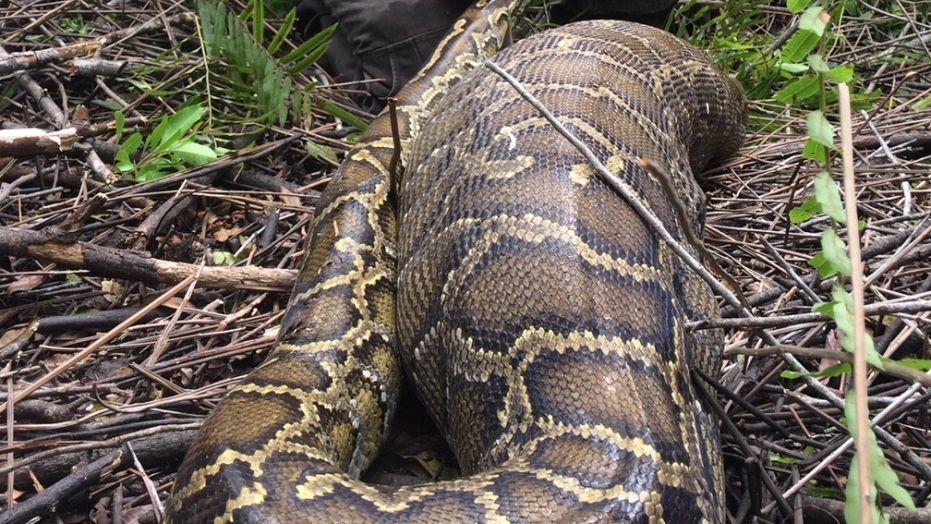 미국 플로리다에서 사슴을 삼킨 채 잡힌 버마비단뱀 [중앙포토]