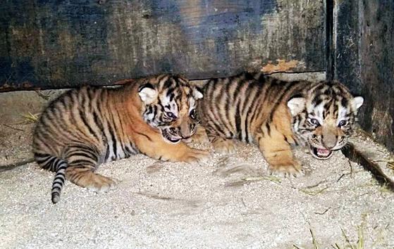 전북 전주동물원에서 2016년 국제 멸종위기종 1급인 시베리아 호랑이 쌍둥이가 암컷 수호(10살)와 수컷 호강(13살) 사이에서 태어났다. 전주 동물원에서는 조상세대의 근친교배로 인한 장애로 사시를 앓고 있던 부모로부터 태어난 딸 역시 사시를 가지고 태어난 적이 있다. [사진 전주동물원]