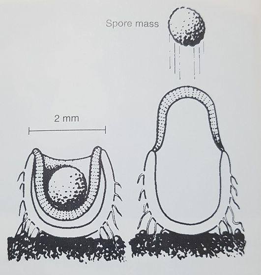 버섯 포자의 확산 과정. 투석기처럼 포자 덩어리를 쏘아 올린다. [중앙포토]