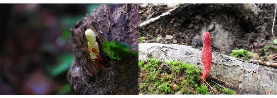 어린 영지(약용, 왼쪽)와 붉은사슴뿔버섯(독버섯)