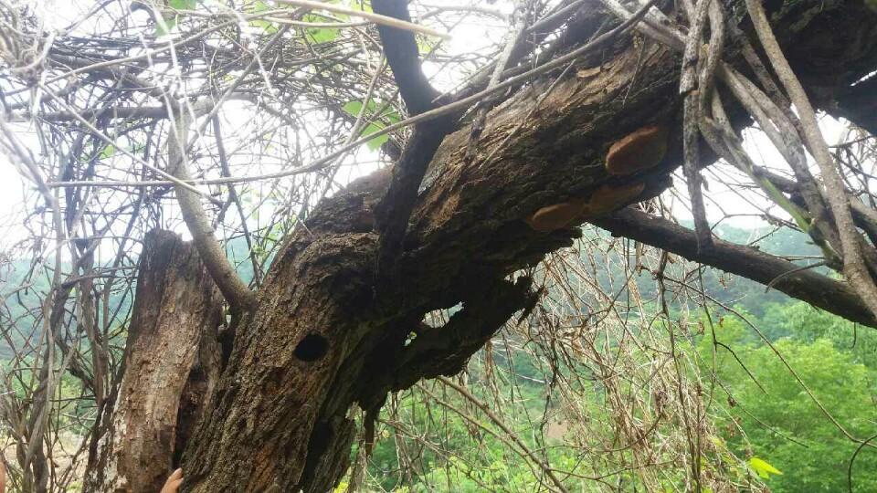 강원도 영월군 태백산 기슭 산뽕나무에서 발견된 상황버섯. 버섯은 자연 생태계에서 식물 사체를 분해하는 역할을 한다. [중앙포토]