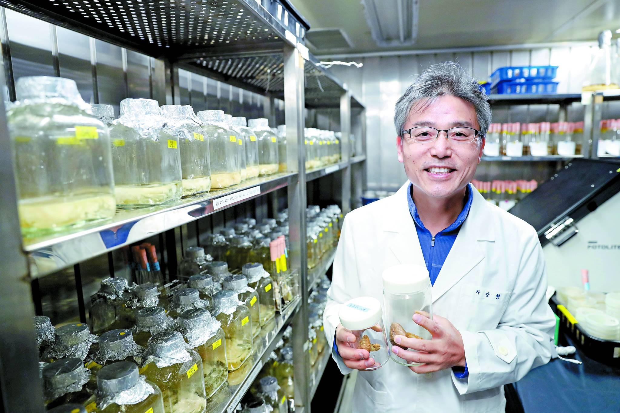 국립산림과학원 가강현 박사가 연구원 버섯 배양실에서 인공재배에 성공, 건조형태로 보관 중인 송이버섯을 들어보이고 있다.국립산림과학원은 지난해 9월 송이 인공재배기술 개발을 위해 지난 2001ㆍ2004년에 식재한 송이균 감염 소나무묘목(감염묘)에서 세 개의 송이 발생을 확인했다고 발표했다. [중앙포토]