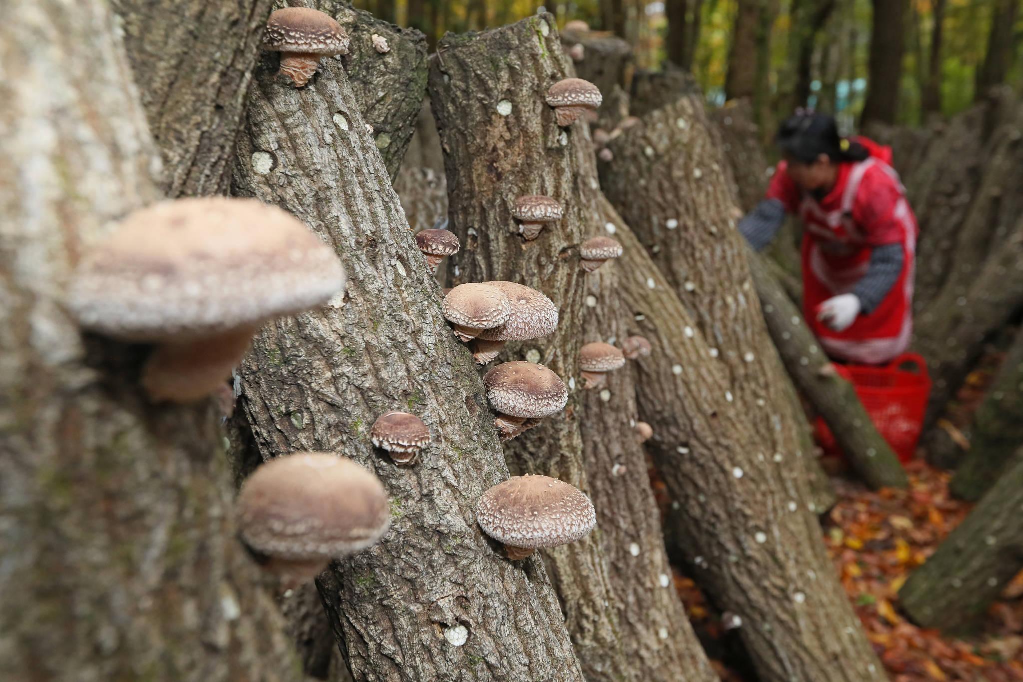 지난해 11월 제주시 애월읍 한라산 중턱의 영농조합법인 한라표고 농장에서 다 자란 표고버섯을 수확하고 있다. [연합뉴스]