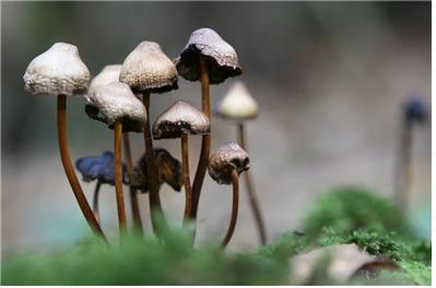 마술버섯 [중앙포토]