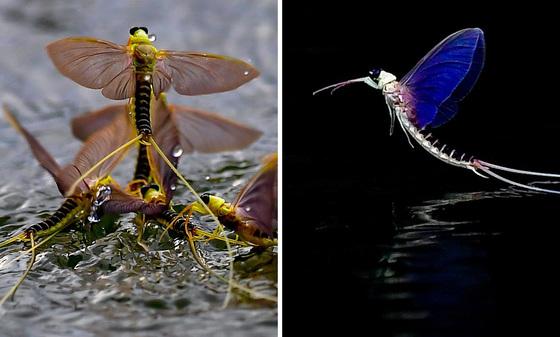 헝가리 긴꼬리 하루살이가 10일(현지시간) 부다페스트 티사강에서 아름다운 비행을 하고 있다. [EPA=연합뉴스]