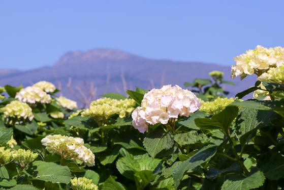 지금 제주 곳곳에서는 만개한 수국꽃을 볼 수 있다. [사진 휴애리]