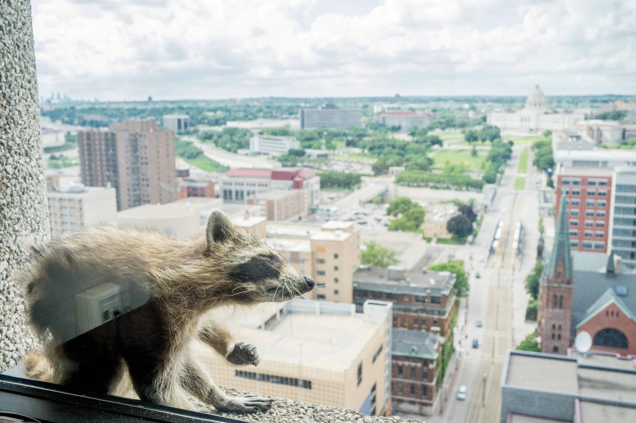 라쿤(미국 너구리) 한 마리가 12일(현지시간) 미국 미네소타주 세인트폴 25층짜리 'UBS 플라자' 건물 외벽을 기어오르다가 23층 창문 턱에서 휴식을 취하고 있다. 이 라쿤은 13일 새벽 25층 꼭대기 옥상에 도착하는데 성공했고, 이후 생포됐다가 야생으로 돌아갔다. [로이터=연합뉴스]