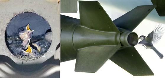 국립대전현충원 내 호국장비전시장에 전시된 전투기 폭탄속에 박새 한 쌍이 알을 낳고, 부화한 새끼를 키우고 있는 모습이 포착됐다. 프리랜서 김성태